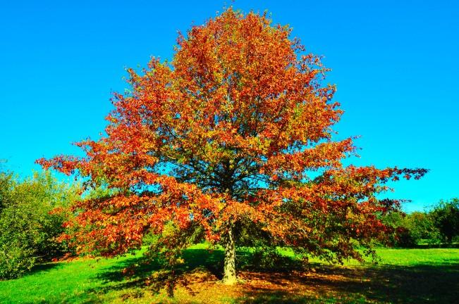 Quercia delle paludi (Quercus palustris), Bologna, Arboreto del Pilastro
