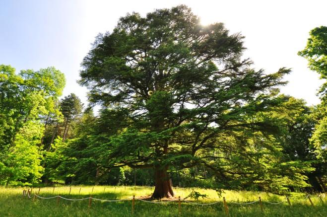 Cedro del Libano (Cedrus libani), Pavullo, Parco Ducale