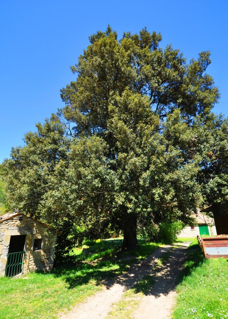 Leccio (Quercus ilex), Castagneto di Sotto, Portico e San Benedetto