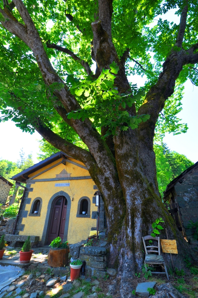 Olmo (Ulmus), Casa Mordini, Pievepelago