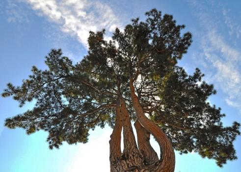 Pino (Pinus), Borgo di Colle Ameno