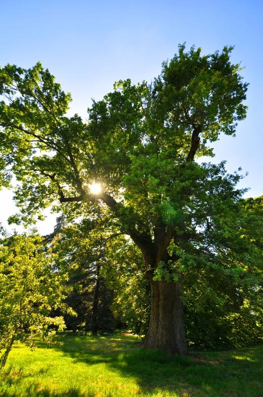 Quercia (Quercus), San Lazzaro, Villa Dolfi-Ratta