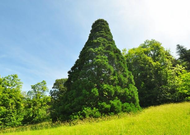 Sequoia (Sequoiadendron giganteum), Pavullo, Parco Ducale
