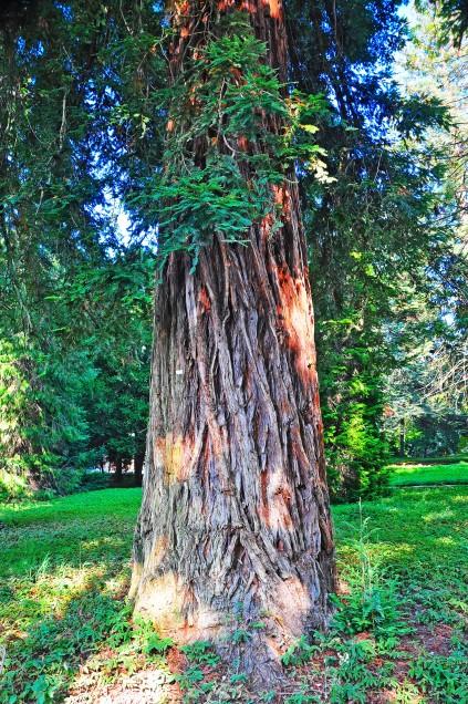 Sequoia (Sequoia sempervirens), Riolo Terme, Parco delle Terme