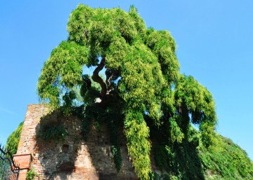 Sophora, Castel San Pietro Terme