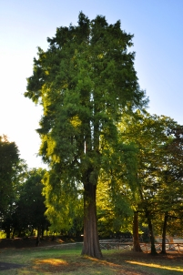 Cipresso calvo (Taxodium distichum), S. Marino di Bentivoglio