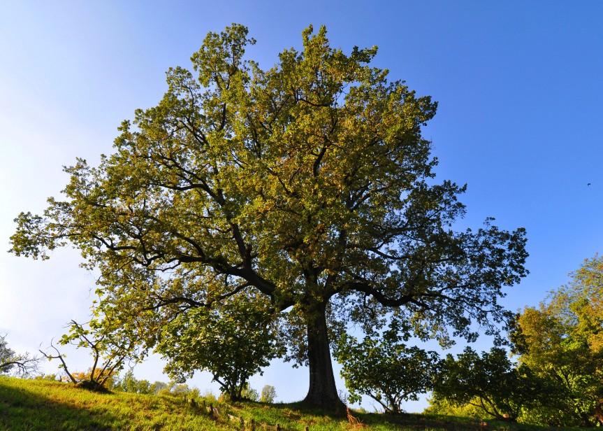 Roverella (Quercus pubescens), Bologna, Villa Ghigi
